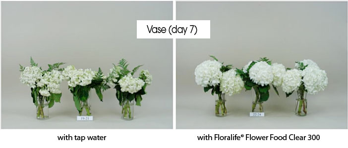Floralife Research Update Prolong The Life Of Cut Hydrangeas